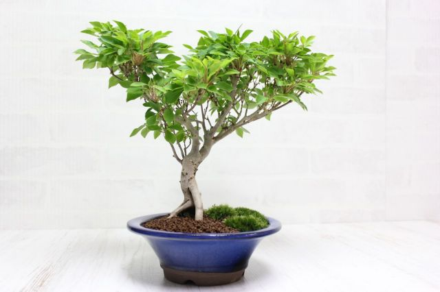ツクモドウダンツツジ,苔,苔玉,ミニ盆栽,盆栽通販,