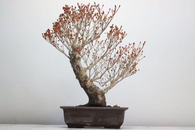 盆栽 ツクモドウダンツツジ 中品盆栽 圧巻の極太幹【現品】