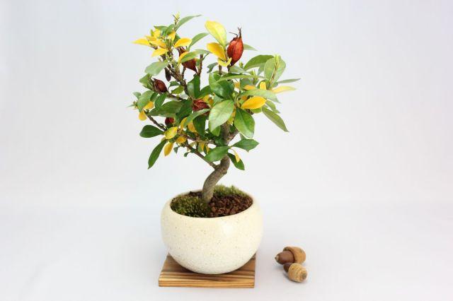 クチナシ(一重ミナリクチナシ),苔,苔玉,ミニ盆栽,盆栽通販,