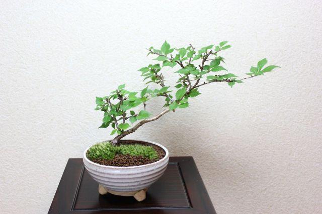 富士桜,苔,苔玉,ミニ盆栽,盆栽通販,