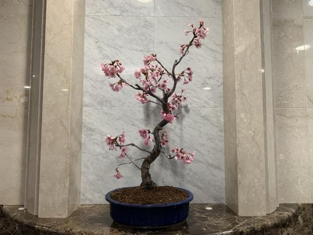 雅(ミヤビ)TBSビビット放送商品 桜盆栽