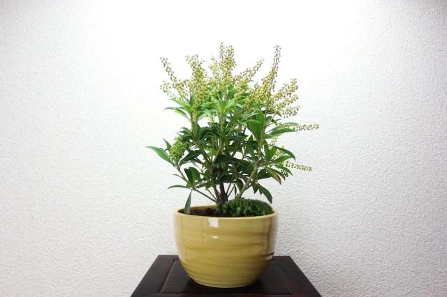 屋久島アセビ(白花),苔,苔玉,ミニ盆栽,盆栽通販,