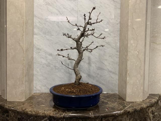 八重の輝(やえのかがやき)TBSビビット放送商品 桜盆栽