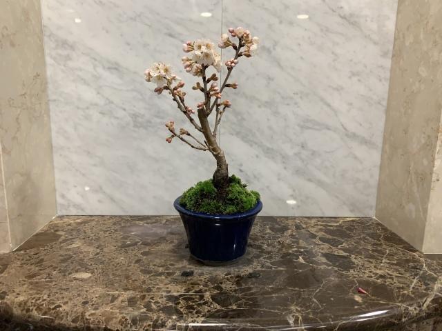 さくらんぼ(サクランボ)TBSビビット放送商品 桜盆栽