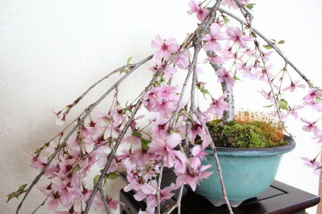 しだれ桜,苔,苔玉,ミニ盆栽,盆栽通販,