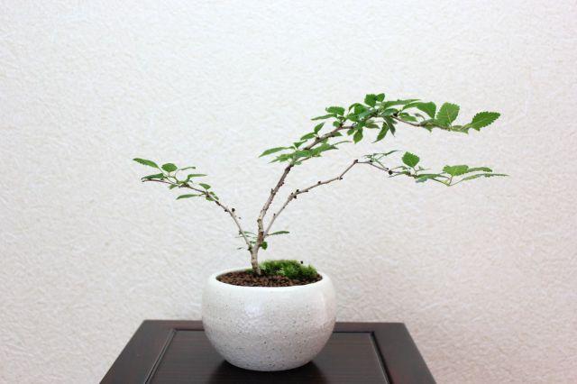 富士桜雲竜,苔,苔玉,ミニ盆栽,盆栽通販,