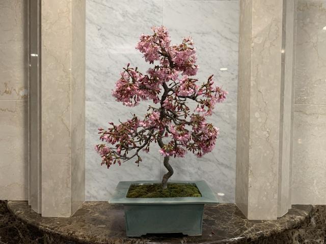 豆桜(マメザクラ)TBSビビット放送商品 桜盆栽