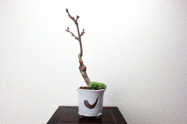 旭山桜,苔,苔玉,ミニ盆栽,盆栽通販,