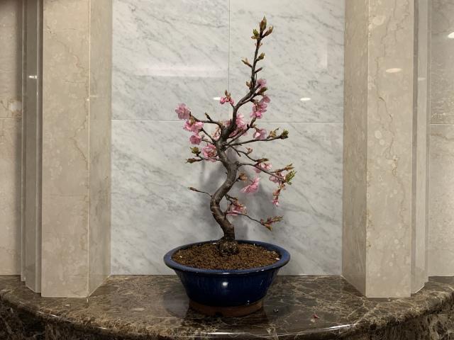 寒桜(カンザクラ)TBSビビット放送商品 桜盆栽
