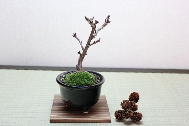 旭山桜(一才桜),苔,苔玉,ミニ盆栽,盆栽通販,