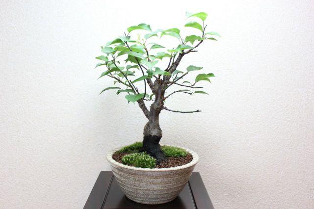 梅,苔,苔玉,ミニ盆栽,盆栽通販,