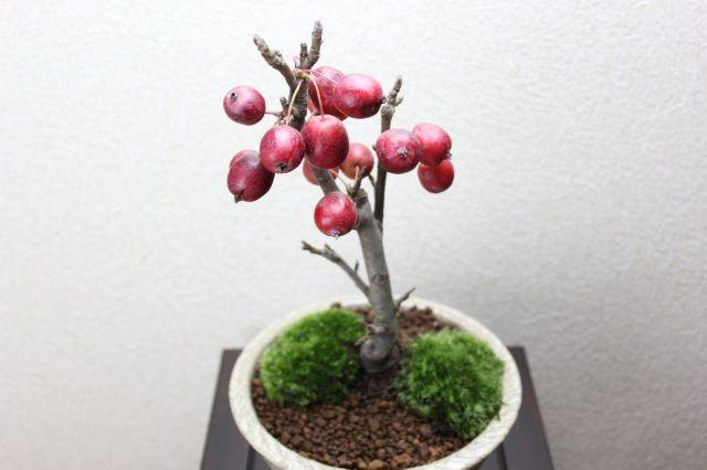 姫リンゴ,苔,苔玉,ミニ盆栽,盆栽通販,