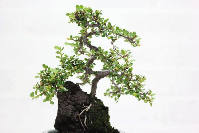 紅シタン石付き,苔,苔玉,ミニ盆栽,盆栽通販,