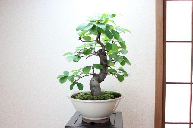 唐カリン,苔,苔玉,ミニ盆栽,盆栽通販,
