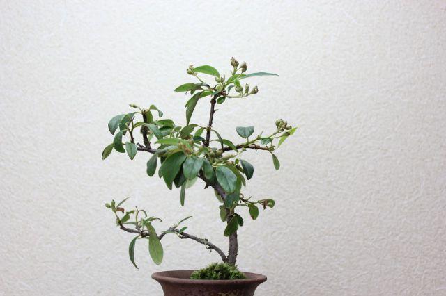 コトネアスター,苔,苔玉,ミニ盆栽,盆栽通販,