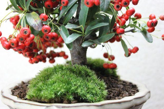 ピラカンサ,苔,苔玉,ミニ盆栽,盆栽通販,