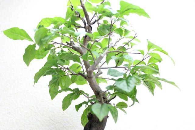 ローヤ柿,苔,苔玉,ミニ盆栽,盆栽通販,