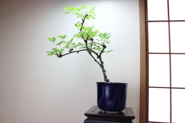 アケビ,苔,苔玉,ミニ盆栽,盆栽通販,