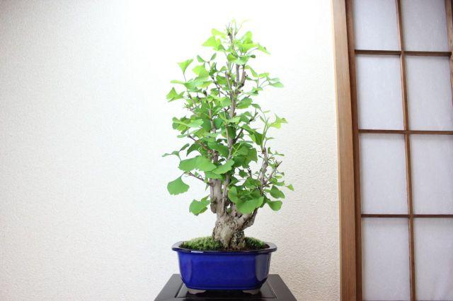 イチョウ,苔,苔玉,ミニ盆栽,盆栽通販,