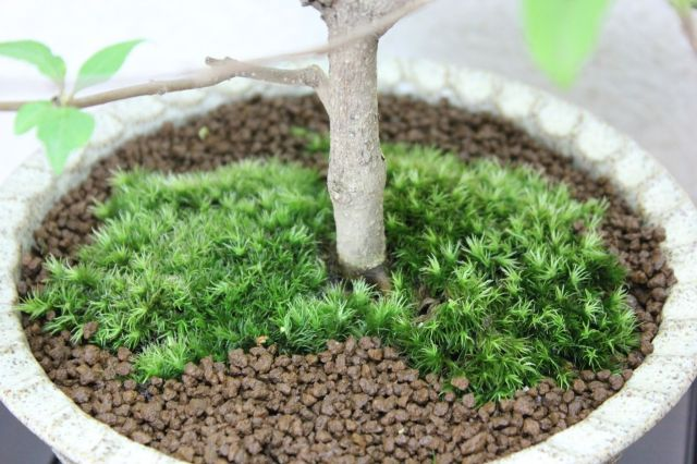 紫式部,苔,苔玉,ミニ盆栽,盆栽通販,