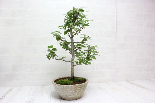 ブナ,苔,苔玉,ミニ盆栽,盆栽通販,