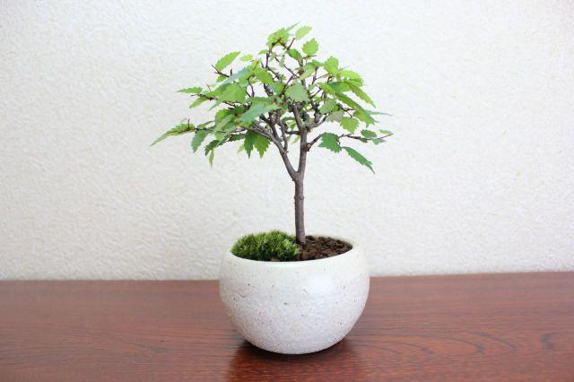 ケヤキ,苔,苔玉,ミニ盆栽,盆栽通販,