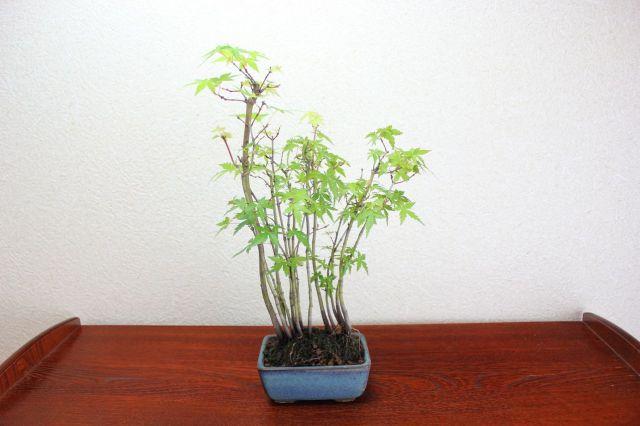 モミジ寄せ植え,苔,苔玉,ミニ盆栽,盆栽通販,
