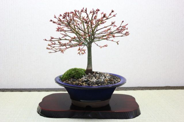 清姫もみじ,苔,苔玉,ミニ盆栽,盆栽通販,