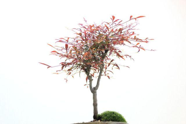 錦糸南天,苔,苔玉,ミニ盆栽,盆栽通販,