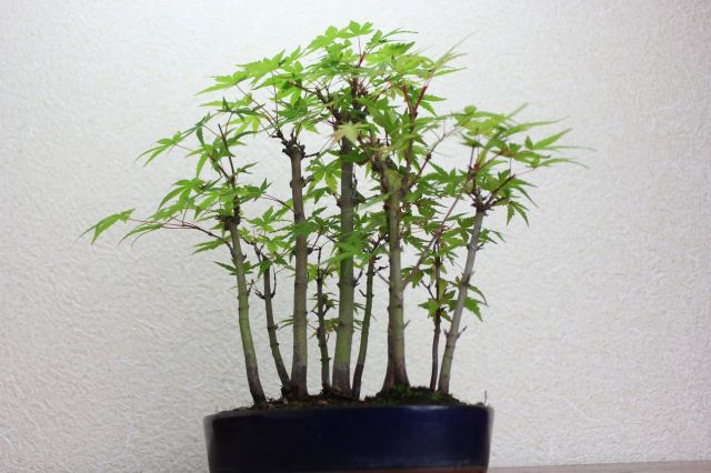 山モミジ,苔,苔玉,ミニ盆栽,盆栽通販,