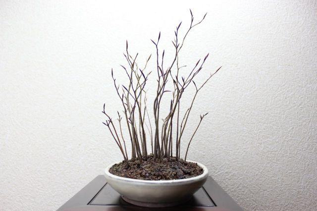 ブナ寄せ植え,苔,苔玉,ミニ盆栽,盆栽通販,