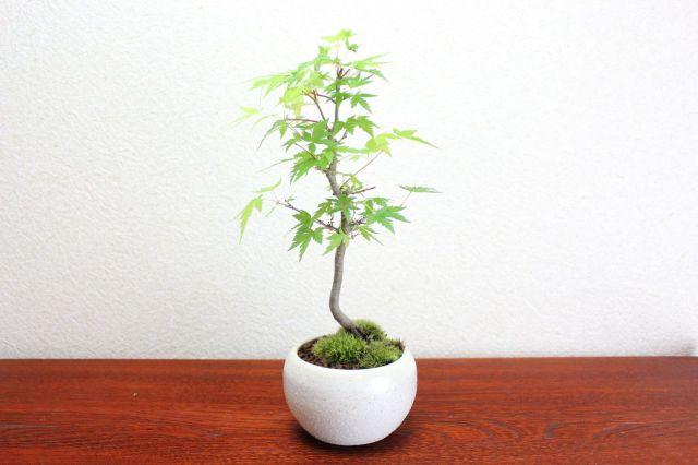 イロハモミジ,苔,苔玉,ミニ盆栽,盆栽通販,