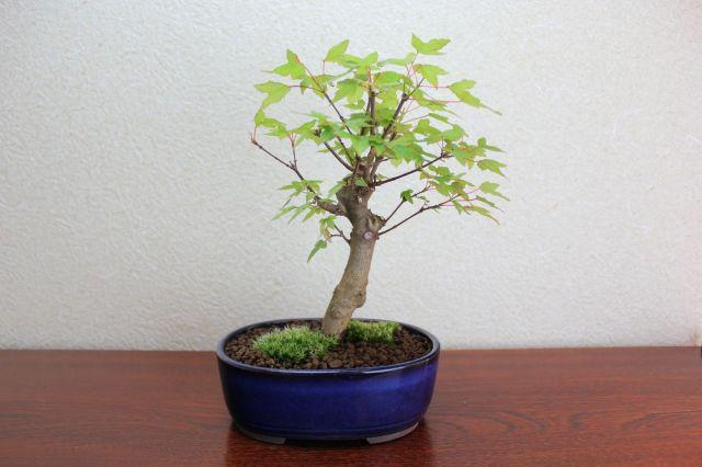 カエデ,苔,苔玉,ミニ盆栽,盆栽通販,