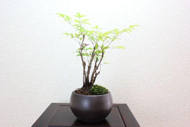 南天,苔,苔玉,ミニ盆栽,盆栽通販,