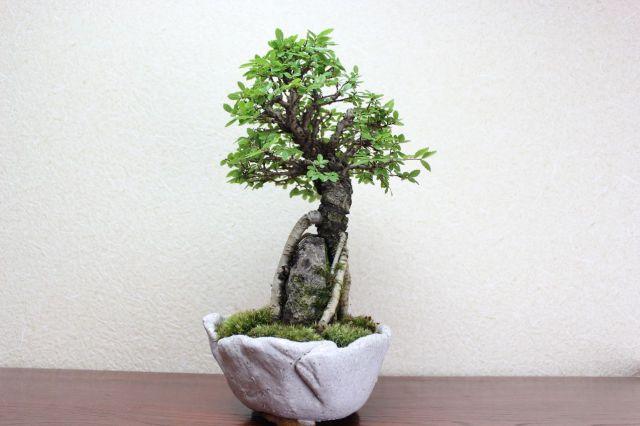 ニレケヤキ,苔,苔玉,ミニ盆栽,盆栽通販,