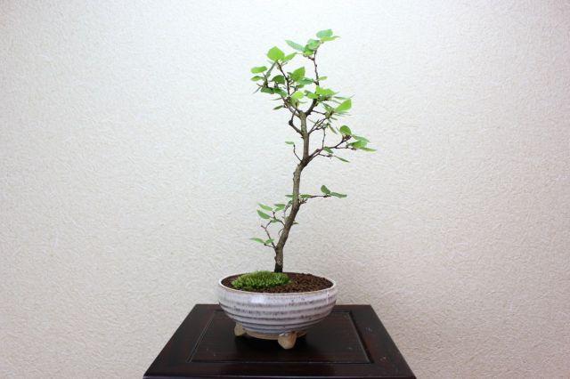 イワシデ,苔,苔玉,ミニ盆栽,盆栽通販,