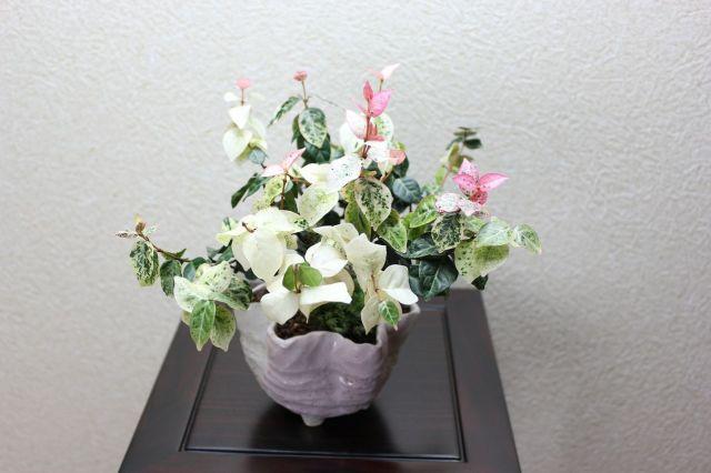初雪カズラ,苔,苔玉,ミニ盆栽,盆栽通販,