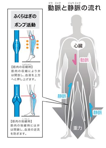 動脈と静脈の流れ