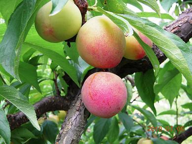 期間限定【自然栽培】すもも 大石早生 熊本・御船産 400g(200g×2p) 6月16日まで 無農薬栽培