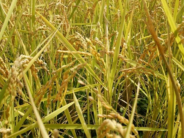 【自然栽培米】お米の美味しい熊本県産菊池・七城米29年度 30kg玄米ひのひかり 自然栽培4年目