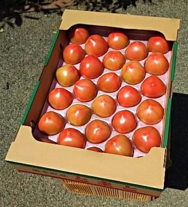 【有機栽培】有機JAS 熊本県産 肥後あゆみの会澤村さん 夏トマト 4kg箱