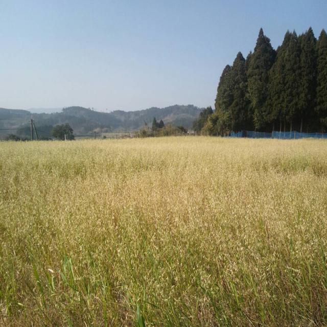 【自然栽培】オーガニック 緑肥 土つくり用自家採種 宮崎県産 エン麦 1kg