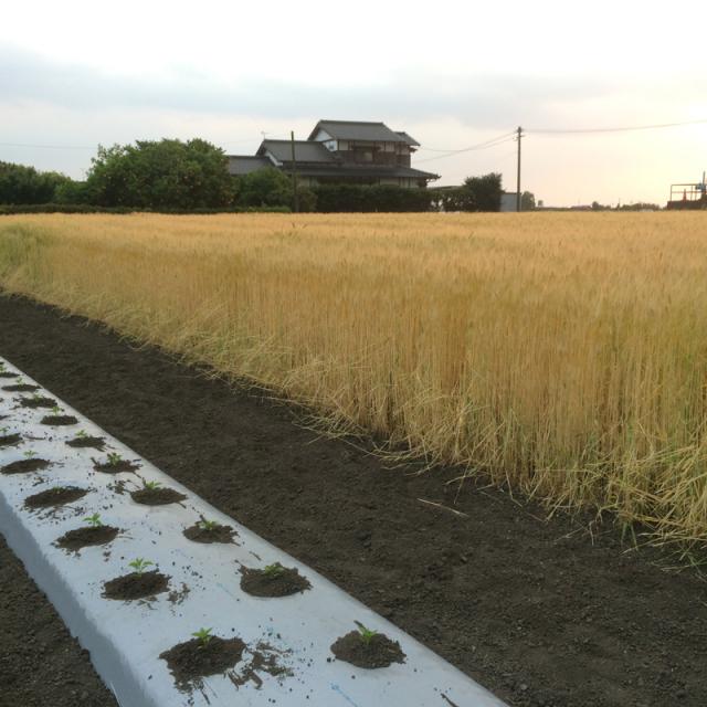 【自然栽培】オーガニック 緑肥 土つくり用自家採種 大麦 1kg 福岡県産