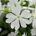 サクラソウ・白花