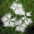 カワラナデシコ・白花