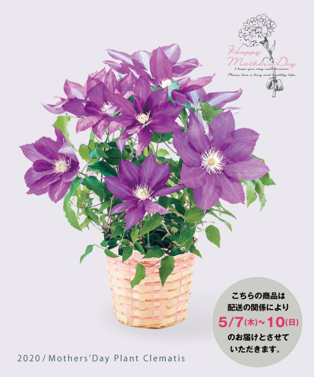 Plant clematis 透明感のある花 紫色のクレマチス鉢物【パープル】