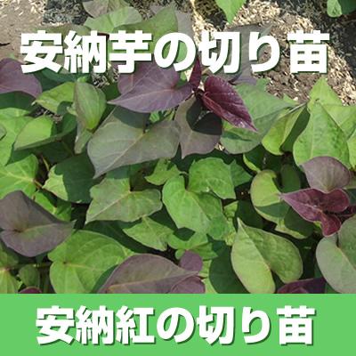 【予約】安納芋(赤)の切り苗 1束300本入【お届け日指定不可】