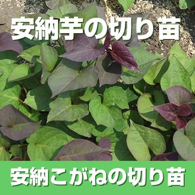 【予約】安納芋(白)の切り苗 1束30本入【imo】