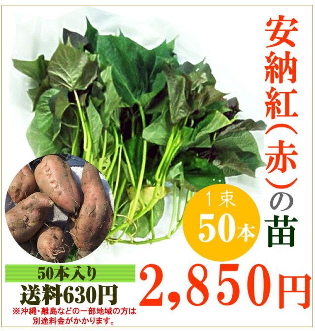 【予約】安納芋(赤)の切り苗 1束50本入【送料630円】【お届け日指定不可】